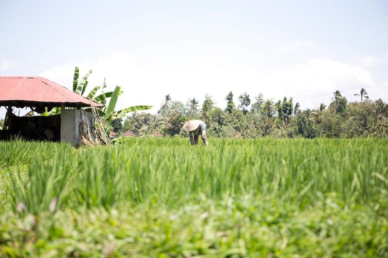 Bali Diary 14 | the rice terraces of Jatiluwih